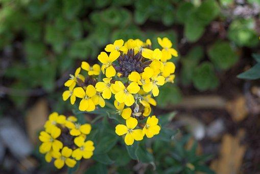 Flower, Yellow, Rock Stone Herb, Flowers