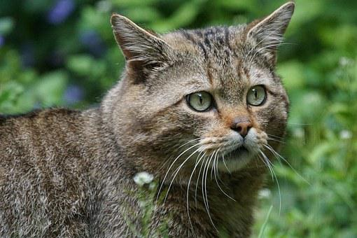 Wildcat, Forest Cat, Predator, European, Protected