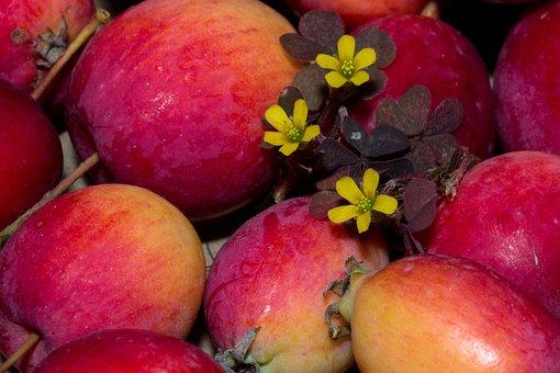 Fruit, Apple, Red, Garden, Red Apple, Flowers, Sorrel