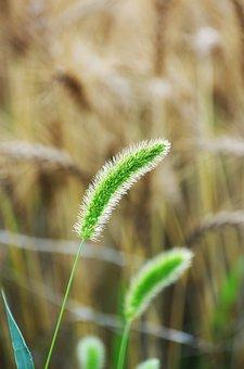 Vernal Grass, Wild Grass, Field, Natural, Green