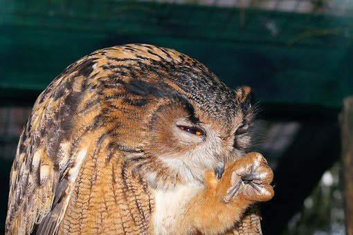 Owl, Eagle Owl, Bird, Feather, Animal, Night Active