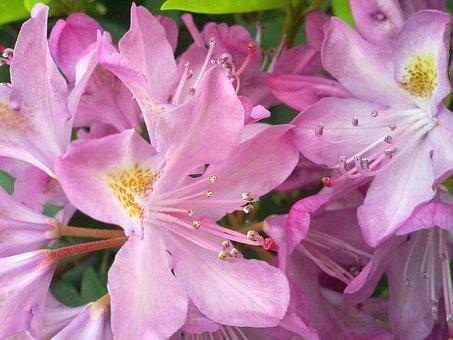 Vernal, Pink Flower, Rhododendron