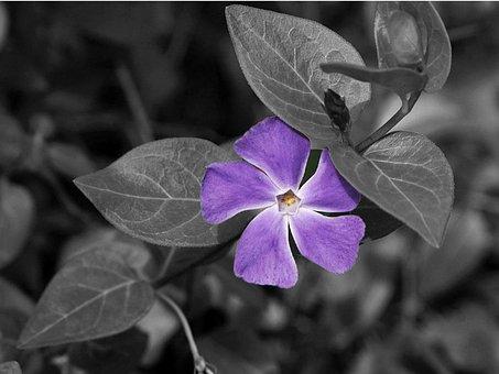 Flower, Wildflower, Mauve Vinca, Floral, Plant, Natural