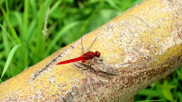 Quentin Chong, Red Dragonfly, Dragonfly