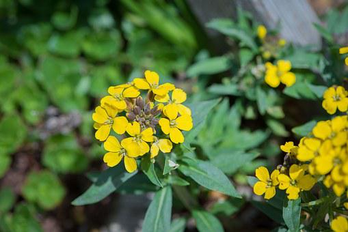Flower, Yellow, Rock Stone Herb, Flowers