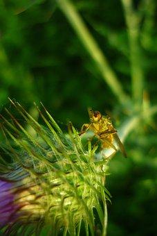 Fly, Yellow, Manure, Spring, Scathophaga, Stercoraria