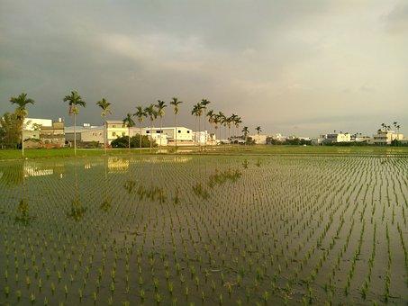 In Rice Field, Landscape, Areca Catechu Tree, Sky