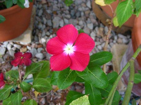 Pink, Pink Flower, Vinca, Pink Vinca, Deep Pink Vinca