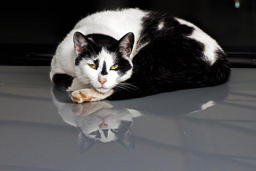 Cat, Reflection, Sleepy, Pet, Animal, Kitty, White