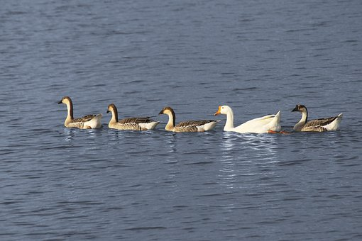 Geese, Swimming, Ocean, Sea, Nature, Wild, Wildlife