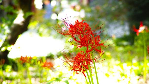 Flowers For, Xishan, Red Flowers, Lycoris Squamigera