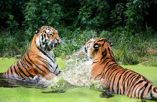 Tiger, Cat, Zoo, Portrait, Predator, Animal World