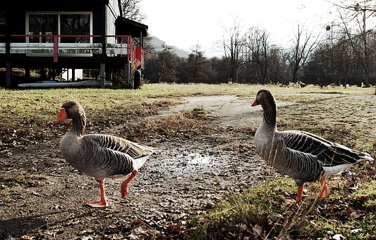 Geese, Oca, Nature, Pond, Landscape, Animals, Ave