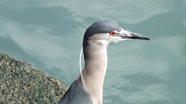 Blue Heron, Ave, Chile, South America, Plumage