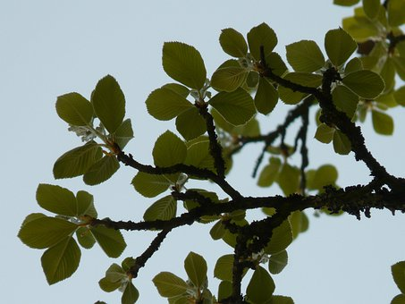 Real Whitebeam, Haw, Tree, Leaves, Back Light, Airy