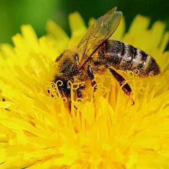 Bee, Nuns, Nature, Closeup, Sonchus Oleraceus