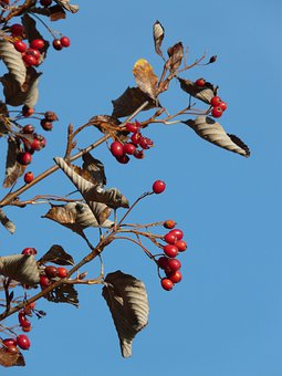 Berries, Fruits, Red, Tree, Berry Red, Real Whitebeam