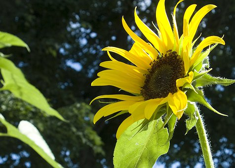 Sunflowers, Yellow, Blossoms, Blooms, Blooming, Petal