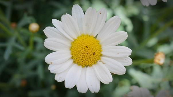 Magerite, Blossom, Bloom, Flowers, Daisy, Close Up