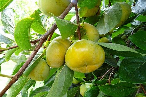 Persimmon, Edible, Fruit, Diospyros Kaki, Ebenaceae