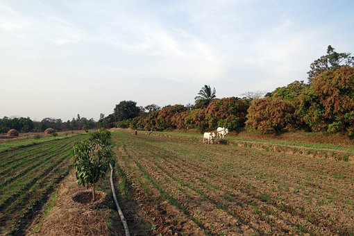 Ox-plough, Ox Plough, Farmer, Tilling, Furrowing, India