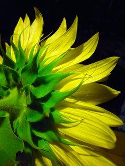 Sunflower, Flower, Blossom, Bloom, Floral, Bright