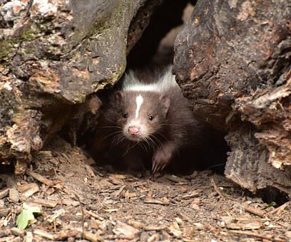 Skunk, Baby, Mammal, Brown White, Animal, Zoo, Fur