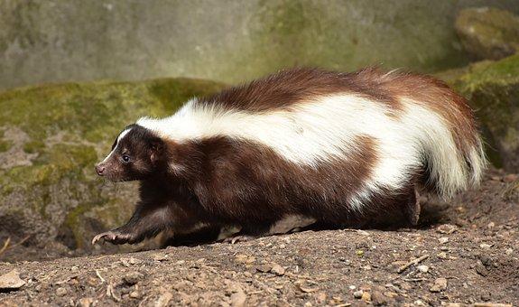 Skunk, Mammal, Brown White, Animal, Zoo, Fur
