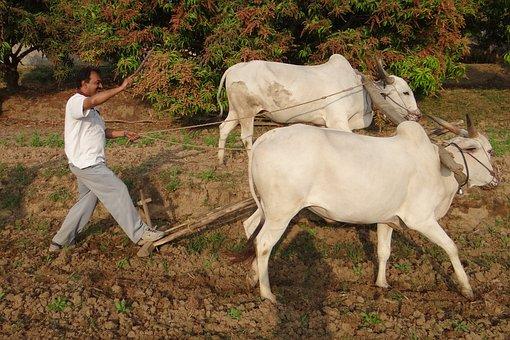 Ox Plough, Farmer, Tilling, Furrowing, India, Ox