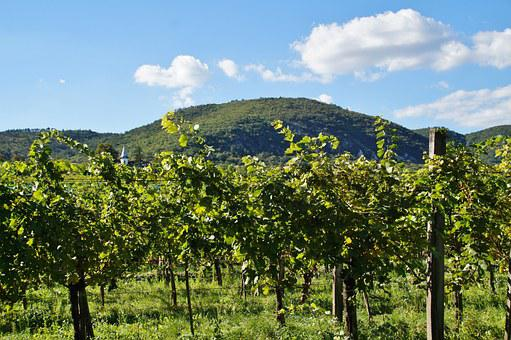Vineyard, Grapevine, The Grapes, Viticulture, Cluster