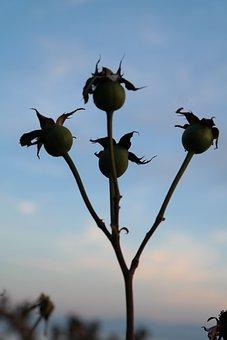 Rose, Fruits, Rose Hip, Haegen, Heép, Hiffen, Hiften