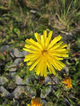Sow Thistle, Hare Thistle, Hare Lettuce, Wildflower