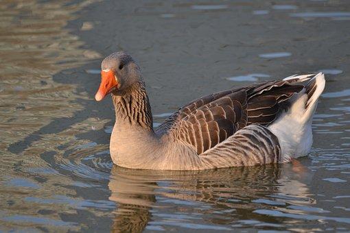 Oca, Lake, Duck, Animals, Nature, Landscape
