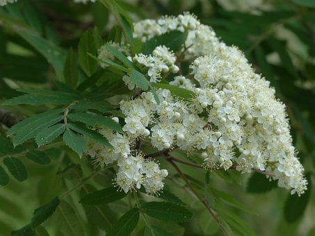 Rowan, Mountain Ash, Flowers, White, Sorbus Aucuparia