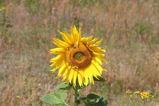 Flower, Sunflower, Plant, Summer, Garden, Nature