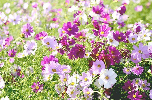 Flowers, Cosmos, Field, Autumn, Nature, Tabitha, Plants
