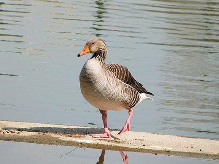 Common Goose, Oca, Ave, Bird, Aquatic, Animals, Pond