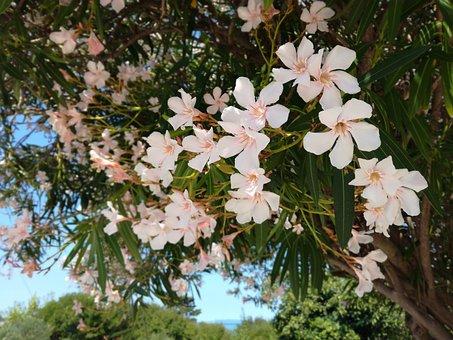 Oleander, Tree, Flowers, Pink Flower, Pink
