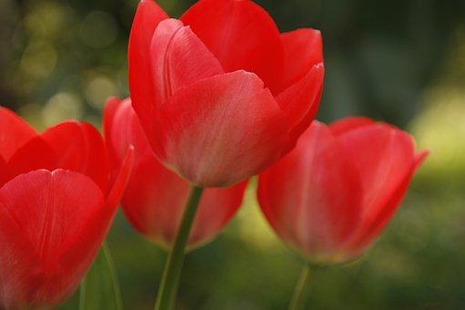 Tulip, Red, Open, Summer, Spring, Flower, Nature