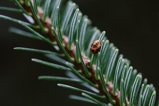 Ladybug Pupa, Pine Tree, Ladybug, Pupa, Tree, Green