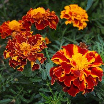 Macro, Flowers, Skunk, Nature, Plant, Marigold, Garden