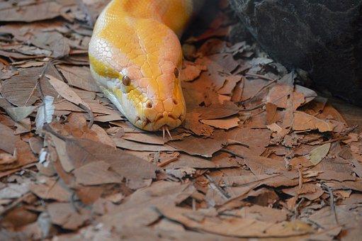 Australia Zoo, Albino Python, Snake