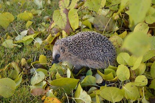Hedgehog, Garden, Spiny, Animals, Leaf