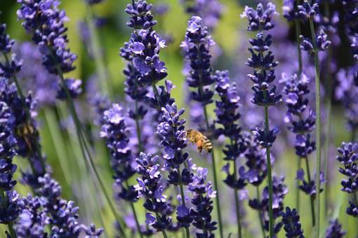 Lavender, Bee, Saws, Summer, Flowers, Herbs, Purple