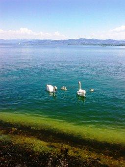 Swans, Swan Family, Animal, Water, Waters, Bird, Birds