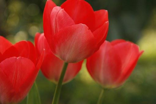Tulip, Red, Open, Summer, Spring, Flower, Nature