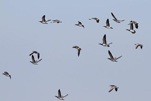 Nun Geese, Geese, Westerhever, Nordfriesland