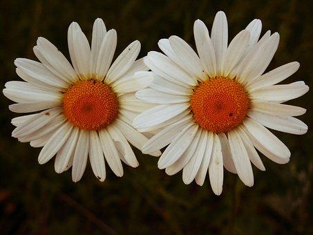 Flower, Magerite, Blossom, Bloom, Macro, Summer, White