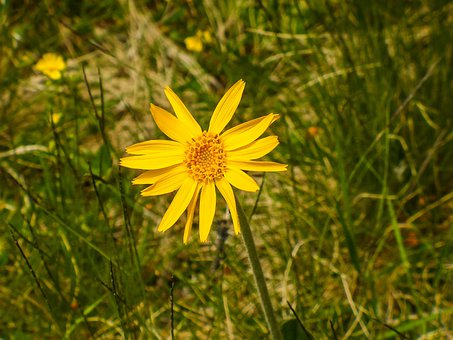 Arnica, Arnica Montana, Medicinal Plant, Blossom, Bloom