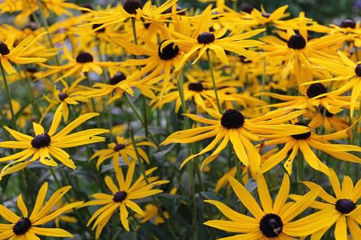 Arnica, Flower, Medicinal Plant, Arnica Montana